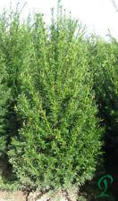 Eibe Taxus Baccata 60-80 cm inkl. Versand 20 x Eiben Gesamt. 275,- Euro.