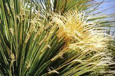 1 PLANT Dasylirion acrotrichum var. parryanum SUCCULENT PLANT ornamental plant