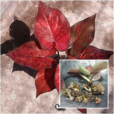 Caladium 1 Tuber, Queen of the Leafy Plants, ''Petmonthon'' Tropical From Thai
