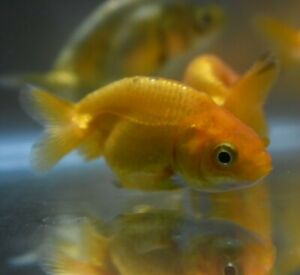 Live Assorted Ranchu Goldfish *Super Cute Freshwater Fish* (PLS READ DESCR)