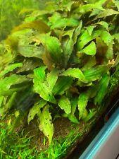 Cryptocoryne nevillii-primer Plano planta acuática