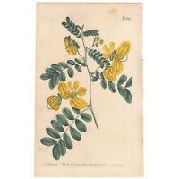 Curtis Botanical Magazine antique 1805 hand-colored engraving Pl 810 Cassia