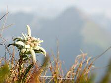 Alpen-Edelweiß Leontopodium nivale 200 Samen VERSAND FREI !!!