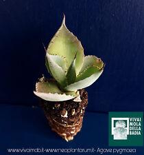 AGAVE PYGMAEA alveolino 1 plante Succulentes 1 plante succulentes
