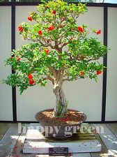 POMEGRANATE TREE - Punica Granatum 40 seeds - bonsai SOW ALL YEAR