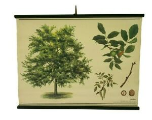 Botanical school chart, Walnut tree pull down, Botanical School Science
