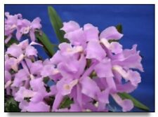 "Cattleya lawrenceana Concolor Orchid Species Beautiful Flowers 2"" Pot (12)"