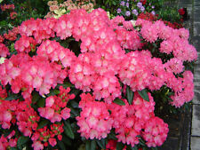 Rhododendron Fantastica - #2 Container Plant - Hot Pink blooms! - Hardy to -15 F
