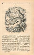 L'Aye-Aye Vari Ecureuil de Madagascar lémuriens Lemuriformes GRAVURE PRINT 1839