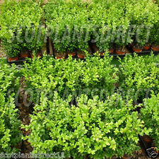 100 x BOX Boxwood Hedging Plants Evergreen Topiary 15-20CM -  POT GROWN (e266)