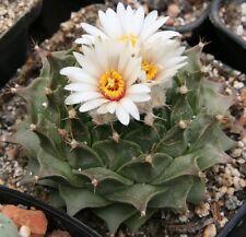 obregonia denegrii rare cactus seeds 10 seeds