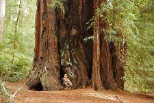 10 Graines - Séquoia à feuilles d'if - Sequoiadendron sempervirens - Samen Semi