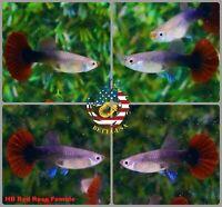 FEMALE ONLY - Live Aquarium Guppy Fish High Quality - HB RED ROSE Halfmoon