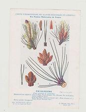 FICHE N°10 PLANTE MEDICINALE/COMITE INTERMINISTERIEL-PIN SYLVESTRE/Ed. Montaudon