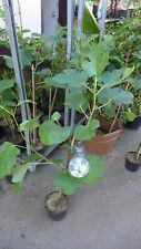 Feigenbaum Ficus carica Col De Dame Blanc ca. 60  cm  winterhart Feige