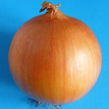 ONION - RIJNSBURGER 5 - 840 Seeds [..heavy yields and good for winter storage]