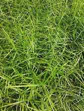 10 Stück Palmwedelsegge Segge Carex muskingumensis Little Midge Sommerblüher