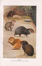 Schopf- Aguti Azaras - Aguti Mohren - Agutis  (Dasyprocta)   Farbdruck 1912