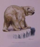 Impression Affiche papier Histoire Naturelle l'Ours Blanc , Thalarctos maritimus