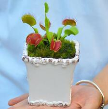 5 pcs Venus Flytrap (Dionaea muscipula) Carnivorous plant seeds