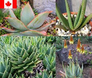 25 Seeds - Aloe Species Mix Seeds