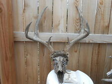 Winter KILL 20 4/8 MULE DEER SKULL rack whitetail elk shed antlers taxidermy