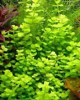 Lysimachia nummularia aurea lot 3 bouquets plante jaune aquarium  bassin facile