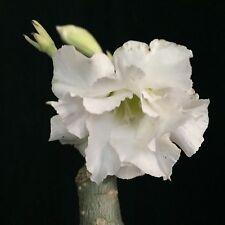 Adenium cv. White Rose, desert rose hybrid