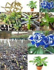 5X ADENIUM OBESUM ROSE du désert plantes d'intérieur graines bleu PLANT ARBRE
