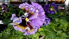 Viola,Stiefmütterchen,orange, blau, weiß essbare Blüten, Salat, Hornveilchen