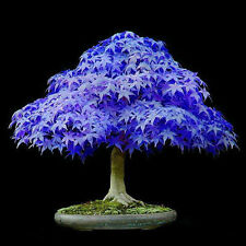10pcs Amazing Rare Blue Maple Seeds  Maple Seeds Bonsai Tree Plants Potted New