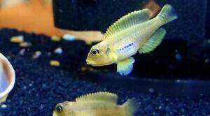 GOLD Ocellatus Shell Dweller (lamprologus ocellatus) Live Fish African Cichlid