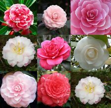 100 MIXED DOUBLE CAMELLIA IMPATIENS Balsamina Flower Seeds 8 colors