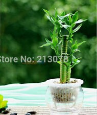 Dracaena seeds, Lucky Bamboo, lotus bamboo,100 seeds