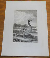 1823 Antique Animal Print///GRAY WILD GOOSE, by Howitt