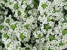 Lobularia maritima - Sweet Alyssum - 2500 Fresh Seeds