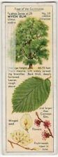 Wych Elm Tree Ulmus scabra 1930s Trade Ad Card