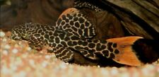"2""plus LEOPARD CACTUS PLECO RED TAIL STERNELLA  LIVE TROPICAL FISH FREE SHIPPING"