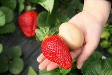 GIANT STRAWBERRY - FRAGOLA GIGANTE, 50 SEMI