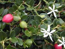 Carissa macrocarpa, natalpflaume, natal Plum, Big Num-Num, 10 semillas