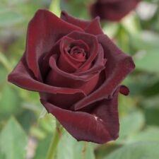 80 SEMI DI ROSA Black Baccara