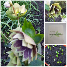 Helleborus x hybridus- 2017 FRESH OP SEED  Double Christmas Rose - 20 Seeds