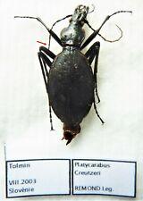 Carabus platycarabus creutzeri (female A2) from SLOVENIA