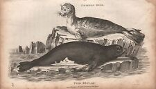 1800 ANTIQUE ANIMAL PRINT - GEORGE SHAW-COMMON SEAL, PIED SEAL