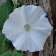 20 Seeds | Creeping – Hanging-Type | Morning Glory Seeds | Rare Solid White