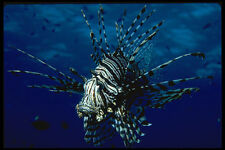 427047 The Lionfish Is Equipped With Poisonous Dorsal Spines A4 Photo Print