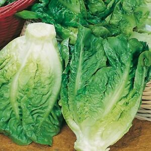Lettuce 'Little Gem' - Vegetable Plants (6 or 12 plugs)