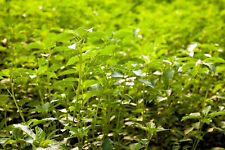 25 Seeds Rare Tropical ornamental Corchorus capsularis White Jute