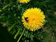 DANDELION (Taraxacum officinale) 200 seeds  *A  ҉  KA™ non-GMO tenant lineage*