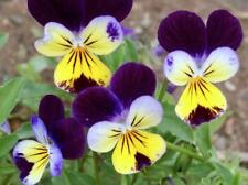 50+ Viola Johnny Jump Up / Edible Pansy, Violet / Perennial Easy Flower Seeds